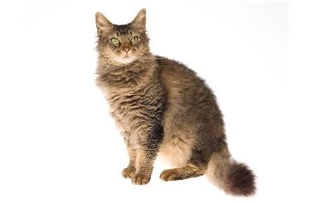 pisica-laperm-sta-in-fund
