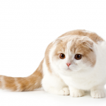 pisica-Scottish-Fold-alba-sta-la-panda