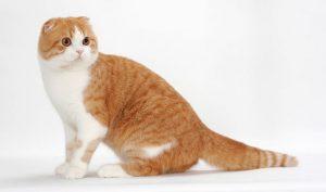pisica-scottish-fold-bicolora-alb-cu-portocaliu
