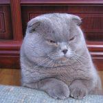 pisica-scottish-fold-gri-mascul-doarme