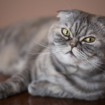 pisica-scottish-fold-ii-lacrimeaza-ochii