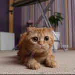 pisica-scottish-fold-maro-cu-ochi-mari
