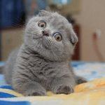 pisica-scottish-fold-poza-pui