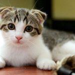pisica-scottish-fold-pui-alb