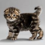 pisica-scottish-fold-pui-mic-tigrat