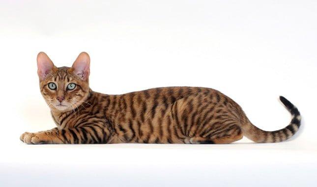 orange bengal cat for sale