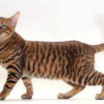 pisica-toyger-poze
