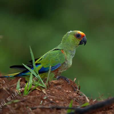 Papagalul cu Capul Auriu