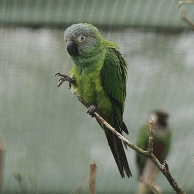 Papagalul Cenusiu