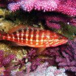 peste-biban-de-acvariu-rosu-printre-corali
