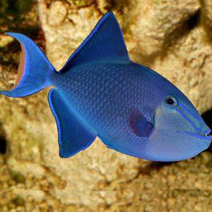 Peste acvariu Odonus Niger albastru
