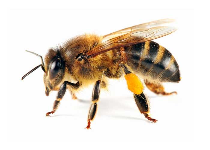 albina la cules
