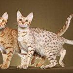 doua pisici ocicat