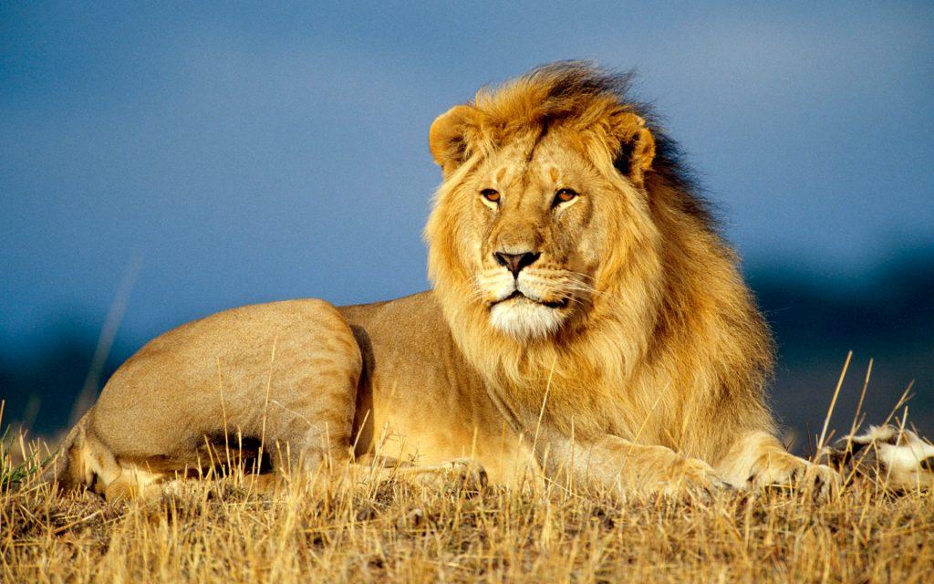 leul african se odihneste