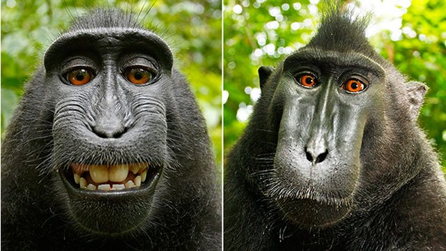 maimuta neagra zambeste