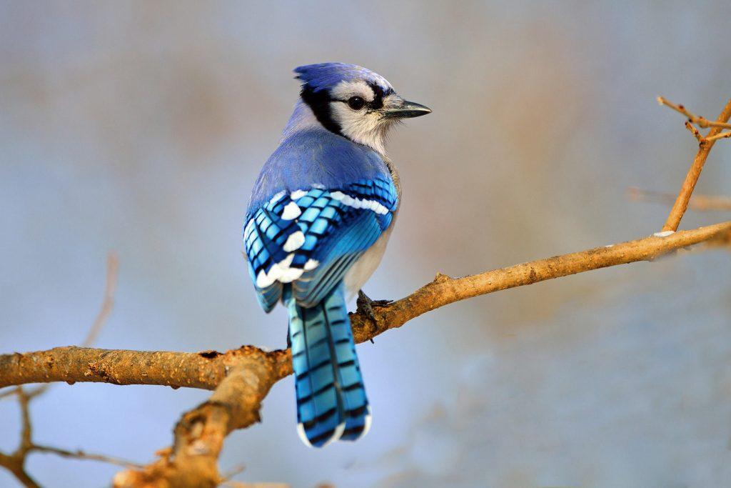 pasare albastra