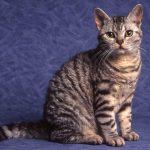 pisica American Wirehair poze