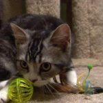 pisica American Wirehair se joaca
