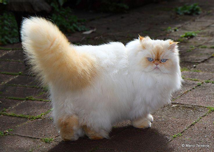 pisica himalayana cu spatele