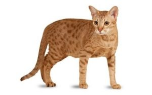 pisica ocicat cu pete