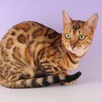 pisica ocicat cu pete si ochi verzi