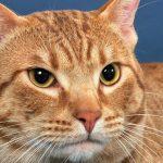 pisica ocicat maro cu ochi mari