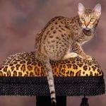 pisica ocicat pe pernita
