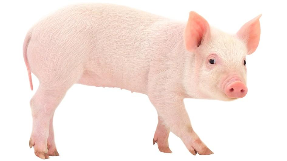 porcul roz