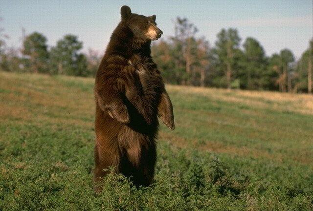 urs maro in doua picioare