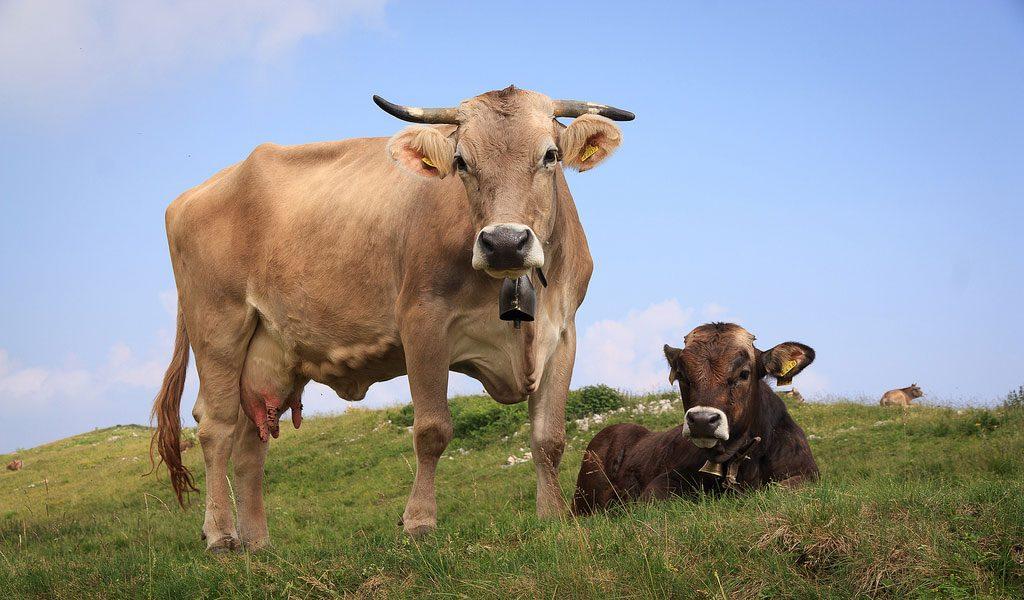 vaca la pascut iarba