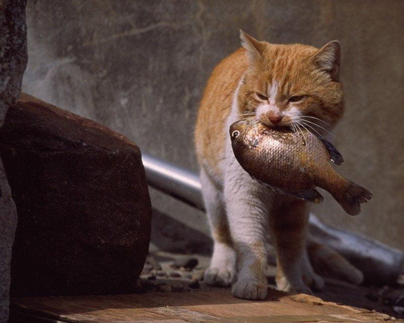 Cum prind pisicile peste