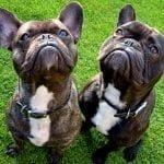 caine bulldog francez