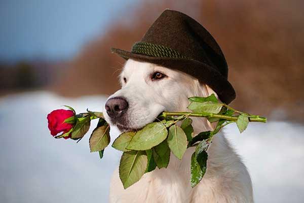 caine cu palarie si trandafir