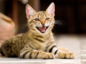 de ce miauna pisica
