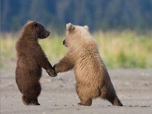doi ursi se tin de mana de valentine day