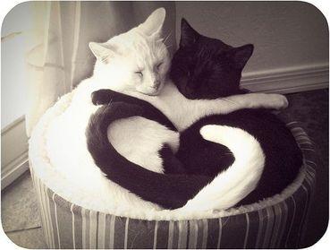 pisici cu cozile in forma de inima