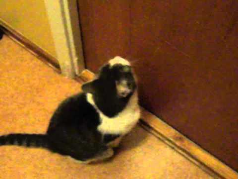 pisica miauna la usa