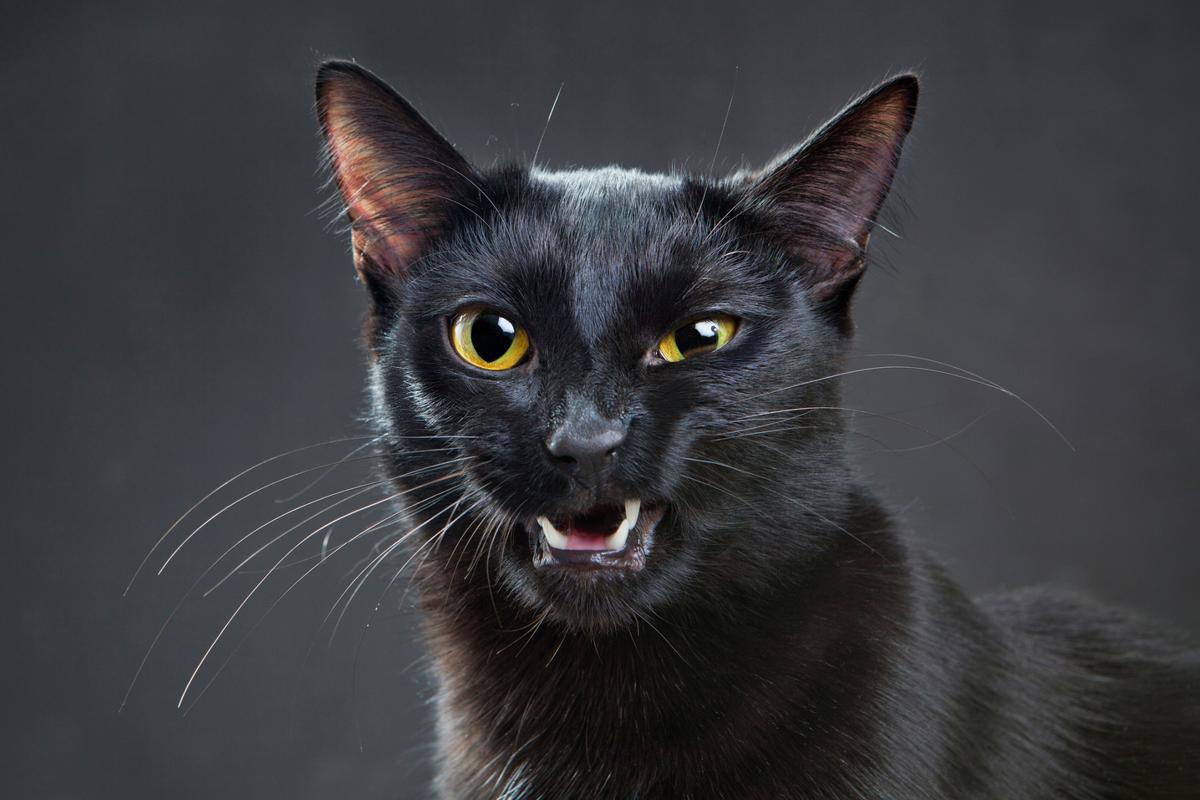 pisica miauna ragusit