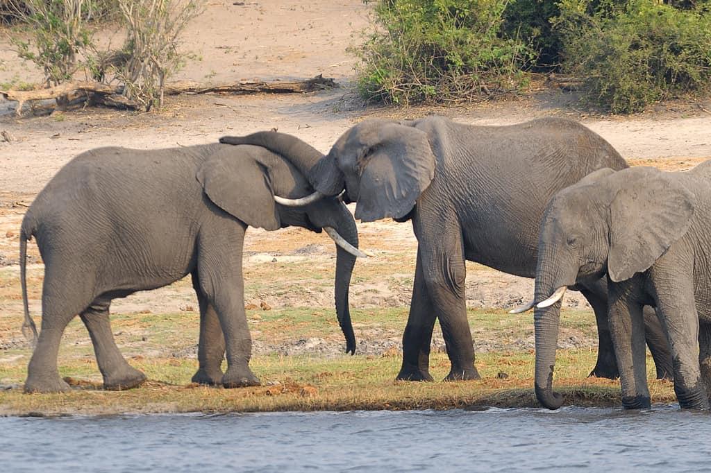 elefantii socializeaza