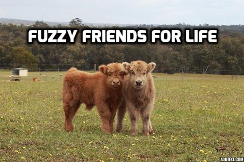 vacile sunt sociabile