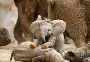 pui de elefant mic