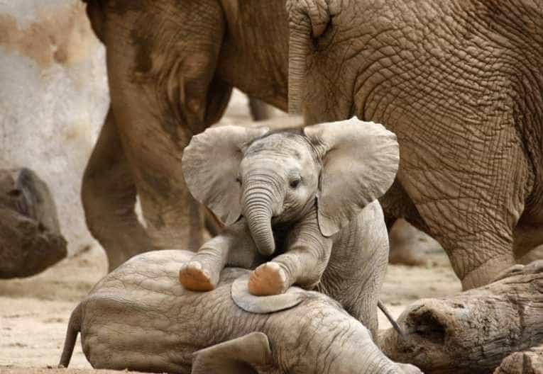 Din dragoste pentru elefanti