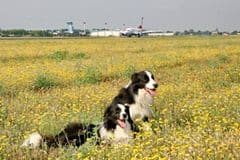 border collie otopeni