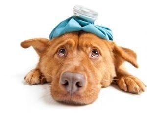 tratament caine febra