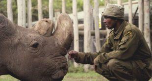 ultumul rinocer alb