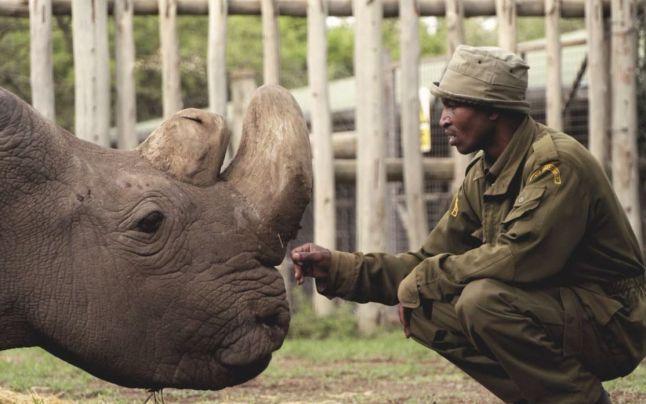 Ultimul mascul de rinocer alb nordic a murit la varsta de 45 de ani