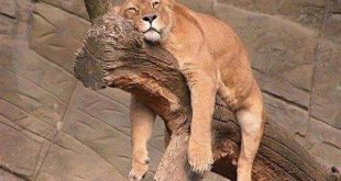 cum se relaxeaza o leoaica