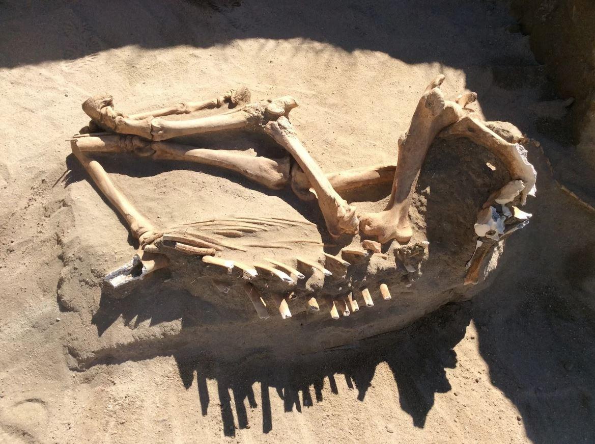 S-a descoperit scheletul unui cal de acum 16.000 de ani