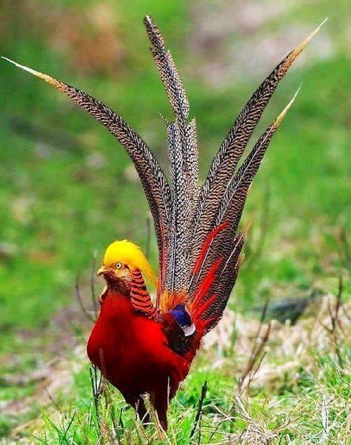 Specii de fazani