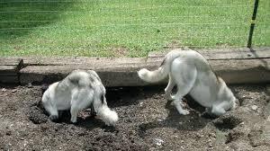caini sapa in curte